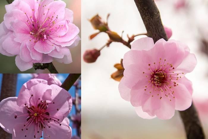 As diferenças entre as flores de pessegueiro, ameixeira e cerejeira