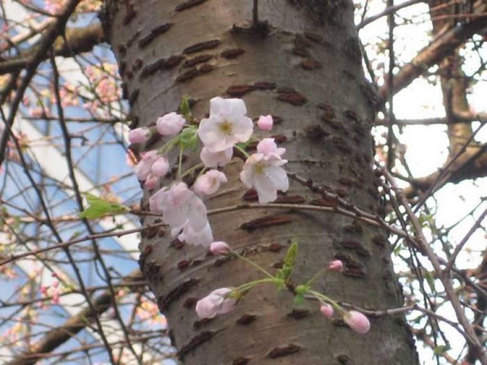 Tronco de cerejeira