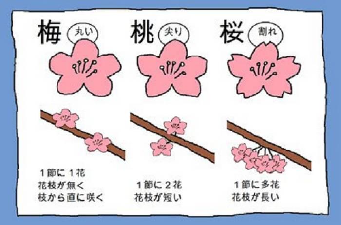 Ameixa (esquerda), pêssego (centro) e cereja (direita)