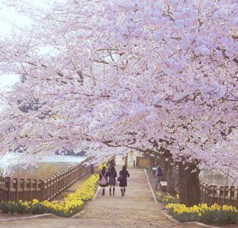 Hanami VR: Tour virtual em 360° pelas cerejeiras do Japão